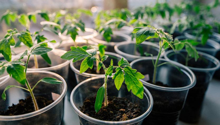 odlar tomater i fönstret
