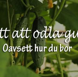 3 sätt att odla gurka på - oavsett hur du bor