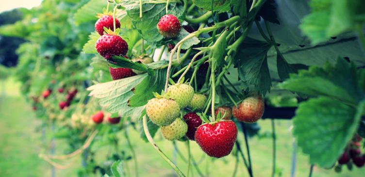 Optimera jordgubbslandet